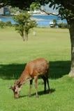 Junger Hirsch auf Lochranza Golfplatz, Arran Lizenzfreie Stockbilder