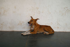 Junger Hund, altes Goa Lizenzfreie Stockfotografie