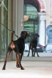 Junger Hund, der zur Spiegeltür schaut Lizenzfreie Stockfotos
