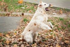 Junger Hund des goldenen Apportierhunds Stockbilder