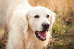 Junger Hund des goldenen Apportierhunds Lizenzfreies Stockfoto