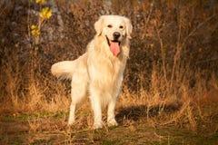 Junger Hund des goldenen Apportierhunds Lizenzfreies Stockbild