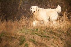Junger Hund des goldenen Apportierhunds Stockfoto