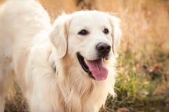 Junger Hund des goldenen Apportierhunds Stockfotografie