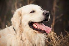 Junger Hund des goldenen Apportierhunds Stockbild