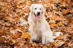 Junger Hund des goldenen Apportierhunds Lizenzfreie Stockfotografie