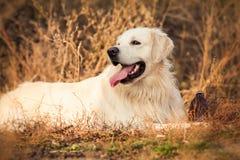 Junger Hund des goldenen Apportierhunds Lizenzfreie Stockfotos