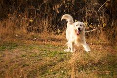 Junger Hund des goldenen Apportierhunds Stockfotos