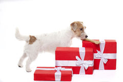 Junger Hund-Jack Russell-Terrier mit dem Knochen und den Weihnachtsgeschenken auf dem weißen Hintergrund Stockfoto