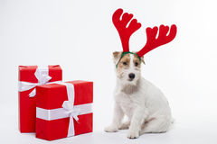 Junger Hund-Jack Russell-Terrier mit Rotwildhörnern auf seinem hatte auf dem weißen Hintergrund Lizenzfreies Stockbild
