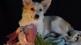 Junger Hund zuerst sah das Gras im Topf und aß es Schwarzer Hintergrund, selektiver Fokus stock video footage