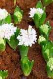 Junger Hyacinth Flowers Grow. stockfotografie