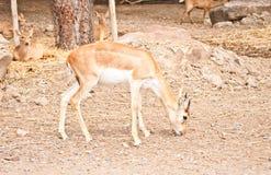 Junger Impala Lizenzfreie Stockfotografie