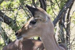 Junger Impala stockfoto
