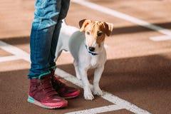 Junger Jack Russell Terrier Dog auf Boden an den Füßen des Mannes stockfoto