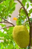 Junger Jackfruit auf Baum Lizenzfreies Stockbild
