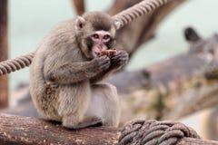 Junger japanischer Macaque, der auf einem Klotz isst Stockfotos