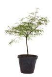 Junger japanisches Ahornholz-Baum Stockbilder