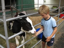 Junger Junge und Holstein-Kalb stockfotos