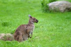 Junger Känguru stockbild