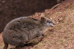 Junger Känguru Lizenzfreies Stockfoto