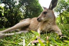Junger Känguru, der sich im Gras hinlegt Stockfoto