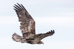 Junger kahler Adler Stockfotografie