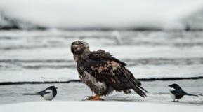 Junger kahler Adler mit Elster Stockbilder