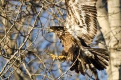 Junger kahler Eagle Reaching für eine Landung in einem unfruchtbaren Baum Lizenzfreies Stockfoto