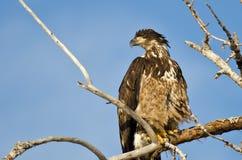 Junger kahler Eagle Surveying der Bereich, während Sie hoch in einem unfruchtbaren Baum gehockt werden Lizenzfreie Stockbilder