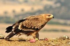 Junger Kaiseradler wirft mit Lebensmittel auf dem Gebiet auf Lizenzfreies Stockfoto