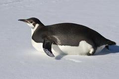 Junger Kaiserpinguin, der auf seinen Bauch kriecht Stockfotografie