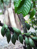 Junger Kakao auf Baum Lizenzfreie Stockbilder