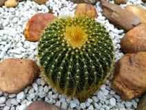 Junger Kaktus Lizenzfreie Stockfotografie