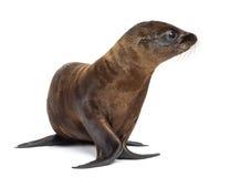 Junger Kalifornien-Seelöwe Stockbild