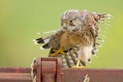 Junger Kestrel mit Nestfedern Lizenzfreies Stockbild