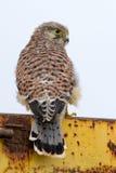 Junger Kestrel mit Nestfedern Stockfotografie