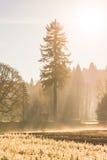 Junger Kiefersämling im Licht des Gartens morgens Lizenzfreies Stockfoto
