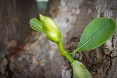 Junger kleiner Jackfruit Lizenzfreie Stockfotografie