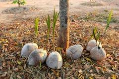 Junger Kokosnussbaum Lizenzfreie Stockbilder