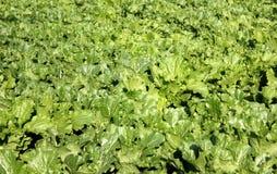 Junger Kopfsalat wachsen Lizenzfreie Stockfotografie