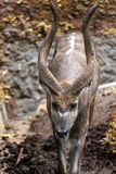 Junger Kudu-Mann, der den eingezäunten Bereich für Kudu durchstreift stockfoto