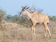 Junger Kudu-Stier im Grasland Stockfoto