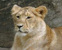 Junger Löwe stockbild