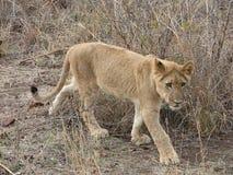 Junger Löwe lizenzfreie stockfotos