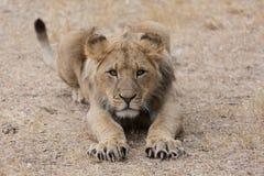 Junger Löwe bereit anzugreifen Stockfotografie