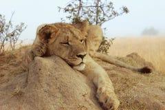Junger Löwe, der an einem nebelhaften Tag stillsteht Stockbild