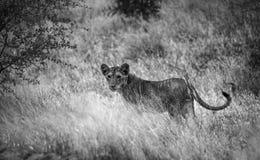 Junger Löwe im Sepia Lizenzfreies Stockfoto