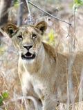 Junger Löwe im Unterholz, Mikumi, Tanzania Lizenzfreie Stockbilder