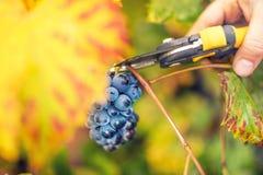 Junger Landwirt, der reife Trauben auf Herbsternte von der Talweinkellerei sammelt Lizenzfreie Stockfotos
